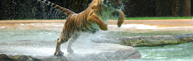 Tiger___A_powerful_animal_by_Chunga_Stock